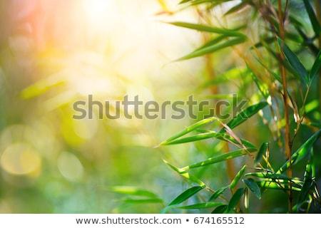 bambou · forêt · soleil · flare · asian · paysage - photo stock © keko64