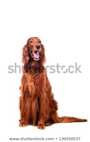 Yawning red and white irish setter Stock photo © Ximinez