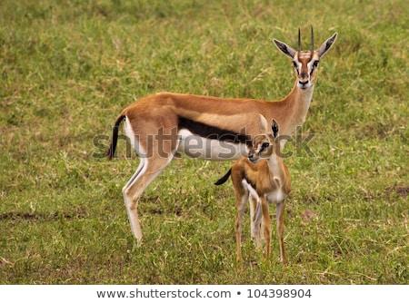 bebek · park · Kenya · Afrika · aslan · Afrika - stok fotoğraf © jfjacobsz