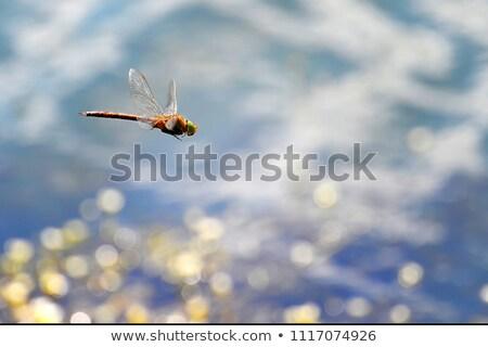libélula · voador · água · foco · cabeça - foto stock © alisluch