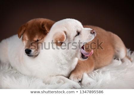 Szép piros kutya portré fehér stúdió Stock fotó © vauvau