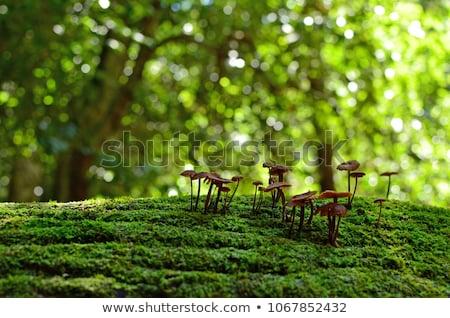 royal mushroom in moss Stock photo © romvo