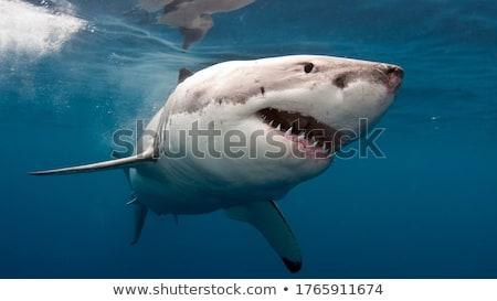Cápa illusztráció közelkép tenger háttér óceán Stock fotó © colematt