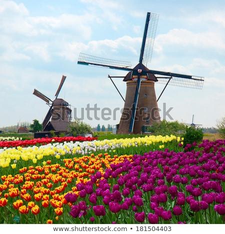 Mulino a vento tulipani campo giallo Holland Foto d'archivio © neirfy