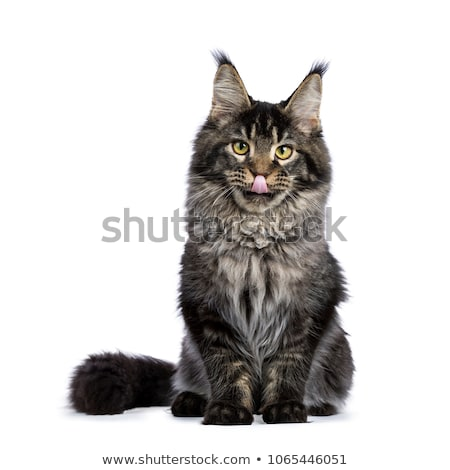 Young adult ticked Maine Coon cat  isolated on white background   Stock photo © CatchyImages