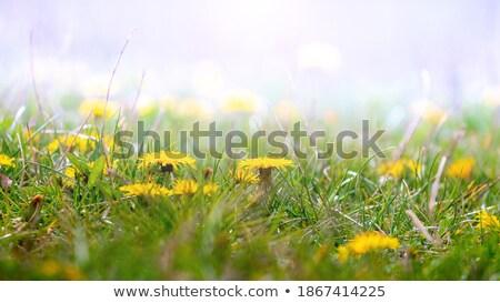 wildflowers dandelions among green grass in spring Stock photo © ruslanshramko