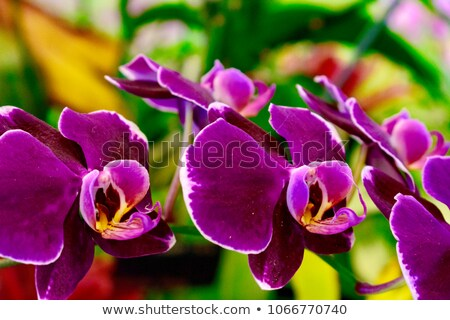 Tropical orchid in Malaysia Stock photo © rbiedermann