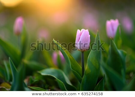 Grasses with pink flowers under sunset Stock photo © kawing921