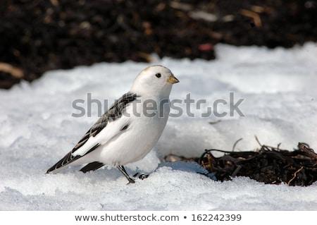 Neve terreno pássaro inglaterra Foto stock © chris2766