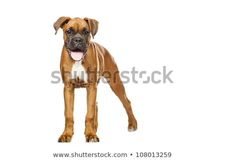 Boxeador cachorro mês branco retrato engraçado Foto stock © Fesus