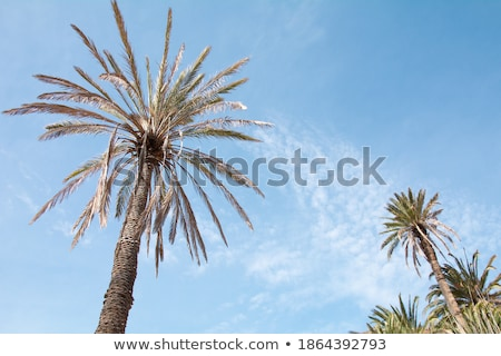coconut tree seen from below Stock photo © antonihalim