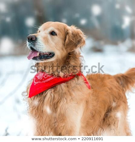 Golden Lab in Snow Stock photo © songbird