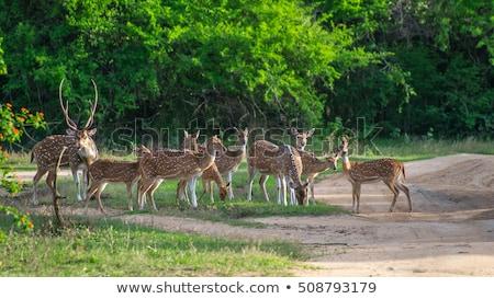 Spotted deer in Yala national park, Sri Lanka Stock photo © Hofmeester