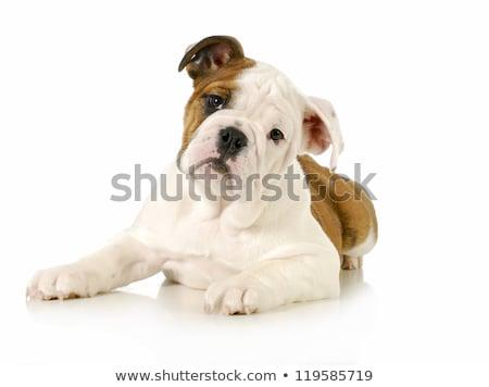 Edad Inglés bulldog blanco rosa Foto stock © dnsphotography