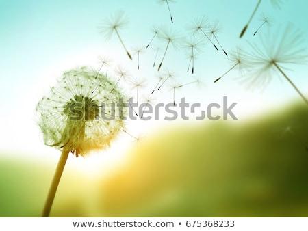 Dandelion sementes manhã luz solar primavera natureza Foto stock © chris2766