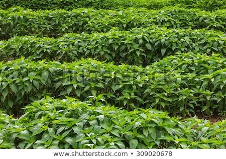 pequeno · quente · pimenta · campo · muitos · frutas - foto stock © sundaemorning