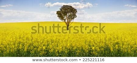 Australian gum tree in field of canola Stock photo © lovleah