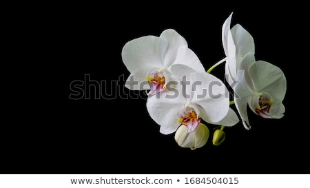 Close up of an orchid Stock photo © jeancliclac