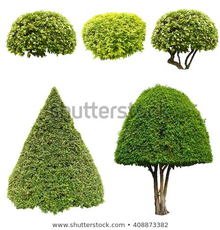 Big thuja trees Stock photo © olandsfokus