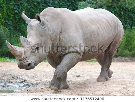 White rhinoceros Stock photo © EcoPic