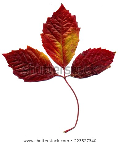 Red autumn virginia creeper leaves on white background with copy Stock photo © BSANI