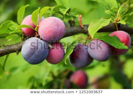 groeiend · pruimen · groene · bladeren · voedsel · vruchten · zomer - stockfoto © olandsfokus