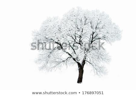 Lone snow covered tree Stock photo © njnightsky