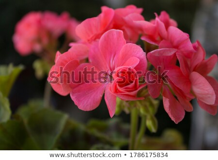 ripe geranium on the garden Stock photo © tarczas