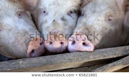 çiftlik · domuzlar · ışık · grup · bacaklar · et - stok fotoğraf © Massonforstock