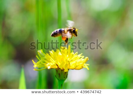 Méh gyűjt virágpor sárga virág makró állat Stock fotó © manfredxy