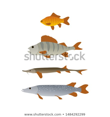 Crucian and Perch, Pike and Trout Vertical Sketch Stock photo © robuart