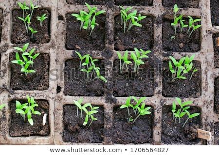 Garden seedlings on wood Foto stock © mythja