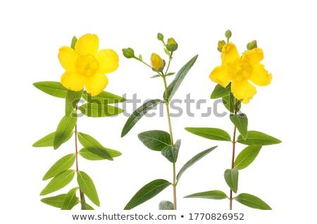 Geel · bloemen · geïsoleerd · witte · drie · rechtdoor - stockfoto © CatchyImages