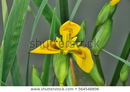 iris · eller · gizlenmiş · sarı · bayrak - stok fotoğraf © rbiedermann