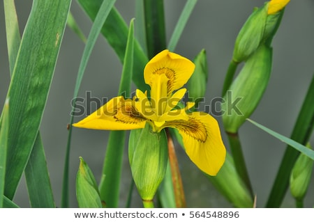 Amarillo iris flor bandera hojas Foto stock © rbiedermann