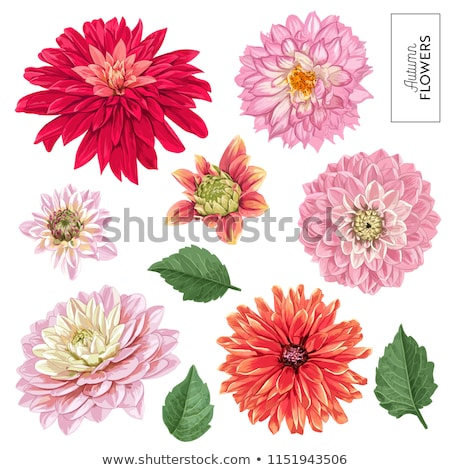 Piękna chryzantema kwiaty wiosną charakter lata Zdjęcia stock © homydesign
