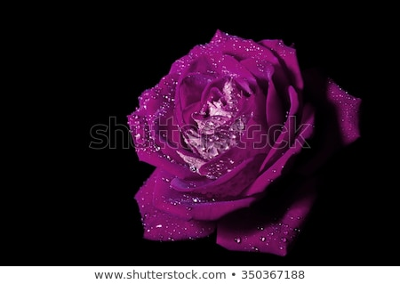 wet purple rose petal stock photo © prill