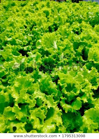 vert · laitue · salade · 13 · alimentaire · feuille - photo stock © TheProphet