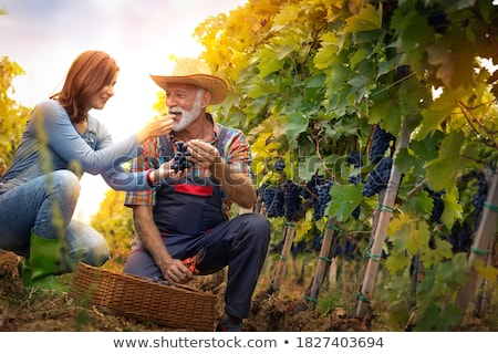 Grape growers picking grapes in their vineyard Stock photo © photography33