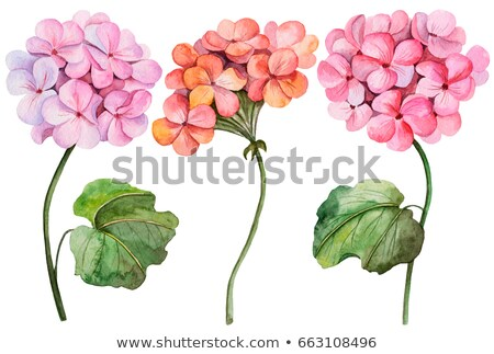 Red Geranium. Spring, summer flower. Stock photo © advanbrunschot