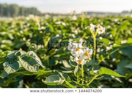 Blooming potatoe field Stock photo © haraldmuc