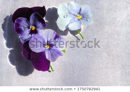 Viola Flowers Stock photo © manfredxy
