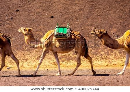 árabe · camelos · rebanho · israelense - foto stock © meinzahn