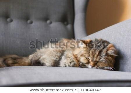 cat · sedia · soggiorno · faccia · felice · verde - foto d'archivio © meinzahn
