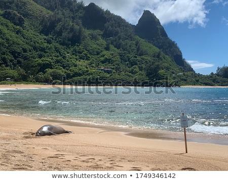 Monk Seal on Tunnels beach Kauai Stock photo © backyardproductions