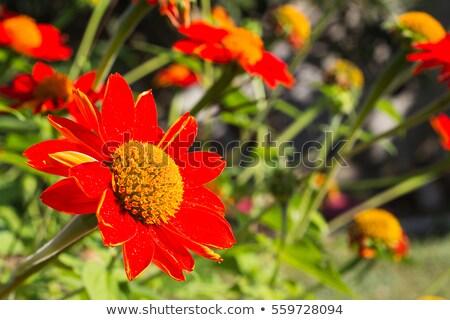Mexicano girassol erva daninha flores brilhante amarelo Foto stock © Yongkiet