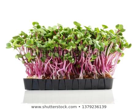 Fresh healthy Green Cress Stock photo © Klinker