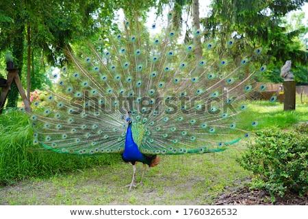 Tavuskuşu açmak doğa arka plan geri Stok fotoğraf © jonnysek