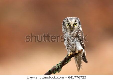 boreal owl in autumn leaves stock photo © martin_kubik