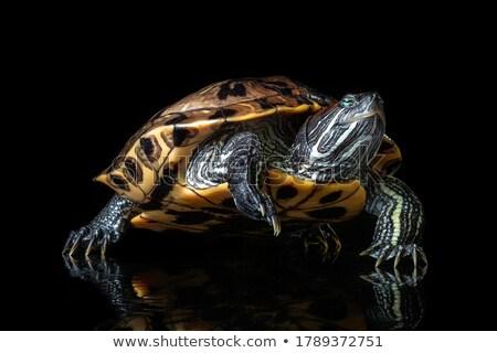 Red Eared Turtle Stock photo © smuki